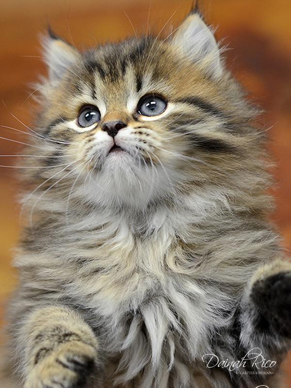 Siberian Kitten Gallery